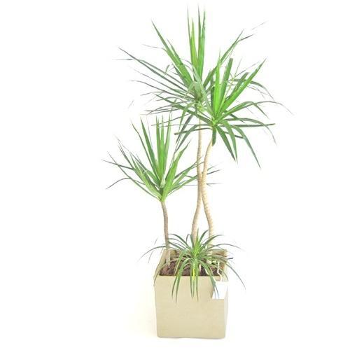 Plantas resistentes para regalar a una oficina plantas for Palmeras de interior